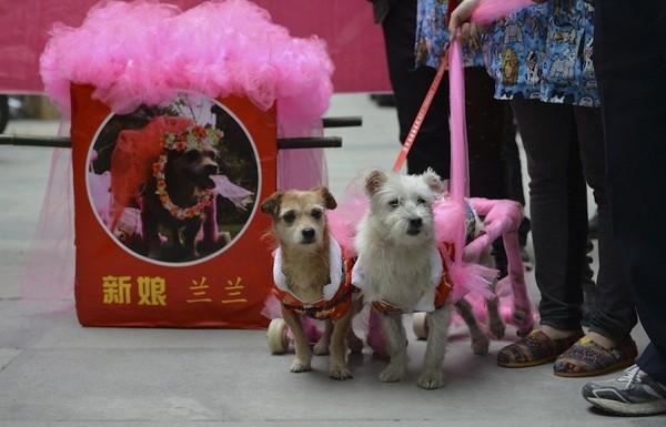 Đám cưới linh đình của... hai chú chó