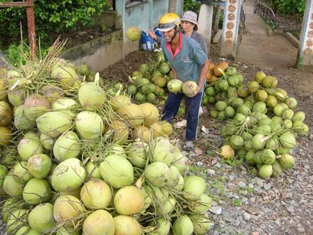 Mới đầu mùa nóng, dừa, mía đã tăng giá hơn 30%